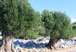 visiting olive groves of lun on off the beaten path tour of croatia
