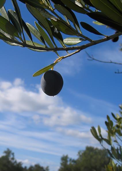 Croatian olives for award winning olive oils