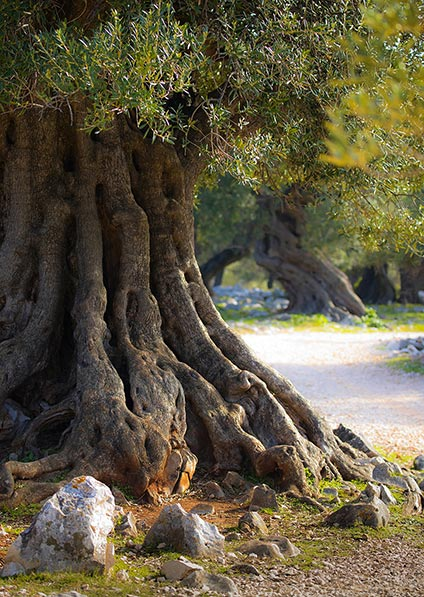 Ancient Olive tree of lun on Pag Island; explore pag island on a private guided walking tour